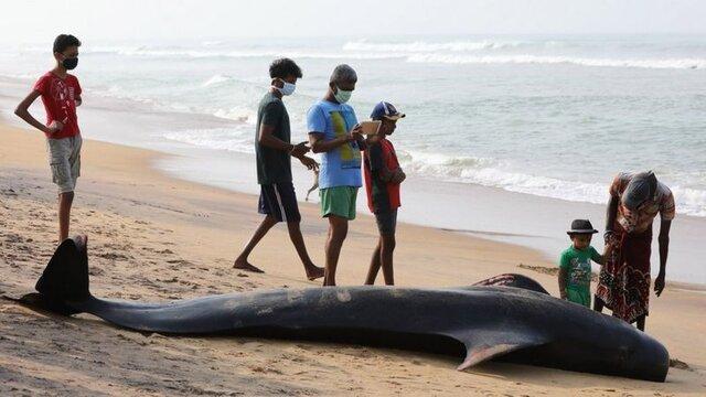 نجات بیش از 100 وال که در سواحل سریلانکا به گل نشسته بودند
