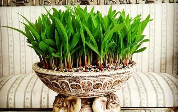 آموزش کاشت سبزه ذرت برای عید نوروز
