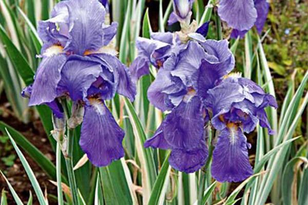 نحوه نگهداری و کاشت زنبق در گلدان