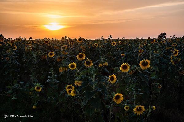 مزرعه گل های آفتابگردان در بوشهر، تصاویر