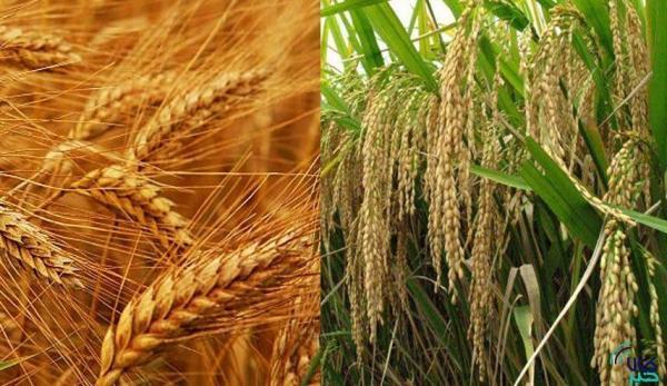 برنج و گندم، نان صنعت فارس را آجر کردند، رویایی به نام فرآوری